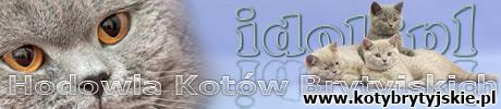 Koty brytyjskie - hodowla  IDOL*PL