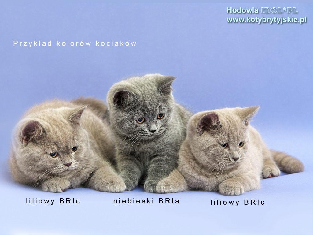 Koty Brytyjskie Hodowla Gorzów Lubuskie